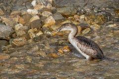 Cormorant. Fishing on mediterranean sea Stock Photography