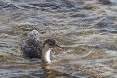 Cormorant. Fishing on mediterranean sea Royalty Free Stock Image