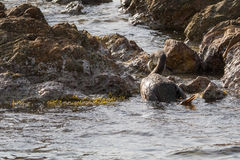 Cormorant. Fishing on mediterranean sea Royalty Free Stock Photography