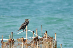 A Cormorant on the fishing net Royalty Free Stock Images