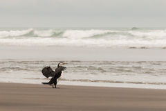 Cormorant flapping its wings Royalty Free Stock Image