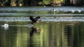 Cormorant flapping their wings before flying in a lake royalty free stock image