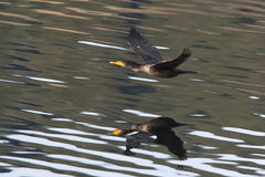 Cormorant flies above water. Stock Photography