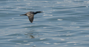 Cormorant flies low across the water of the pacific Royalty Free Stock Photos