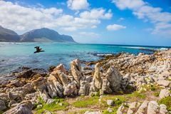 Cormorant flies over the ocean shore. Boulders Penguin Colony in the Table Mountain National Park, South Africa. The concept of ecotourism royalty free stock photography