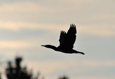 Cormorant in flight Royalty Free Stock Photo