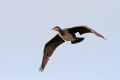 Cormorant in flight Royalty Free Stock Photos