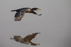 Cormorant in Flight. Cormorant flying over water with reflection royalty free stock photo