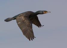 Cormorant in flight Stock Photos