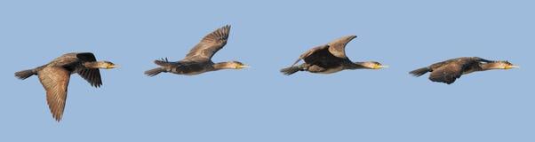 Cormorant flight Stock Photography