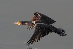 Cormorant flight Royalty Free Stock Image