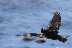 Cormorant flight Royalty Free Stock Images