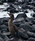 Cormorant Flightless nel Galapagos Immagini Stock