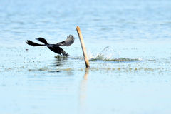 The cormorant fly and landing on lake Royalty Free Stock Image