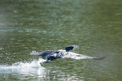 Cormorant flying above water Stock Photography