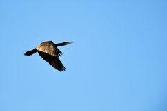 Cormorant flying Royalty Free Stock Photography