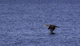 Cormorant flying close to water Royalty Free Stock Photos