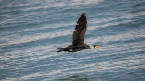 Cormorant flying low over water , Estepona. A cormorant taken at sunset flying low over water in the fishing harbour of Estepona, a small town on the Costa del Royalty Free Stock Images