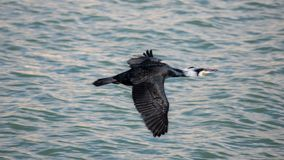 Cormorant flying low over water , Estepona. A cormorant taken at sunset flying low over water in the fishing harbour of Estepona, a small town on the Costa del Stock Photos