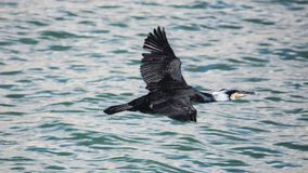 Cormorant flying low over water , Estepona. A cormorant taken at sunset flying low over water in the fishing harbour of Estepona, a small town on the Costa del Royalty Free Stock Photos