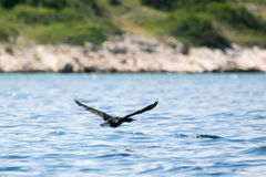 Cormorant flying in nature Stock Photos