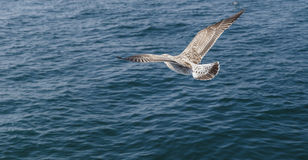 Cormorant flying over the Sea of Marmara Royalty Free Stock Photography