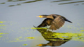 flying Bird and reflection in water Stock Photography