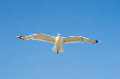 Cormorant flying in the sky Royalty Free Stock Image
