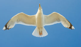 Cormorant flying in the sky Stock Images