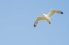 Cormorant flying in the sky Stock Image