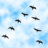 Cormorant flyover Royalty Free Stock Images