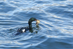 Cormorant with food. Royalty Free Stock Photography