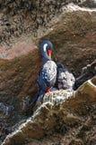 Cormorant fornito di gambe rosso nel Islas Ballestas, penisola di Paracas, Fotografia Stock