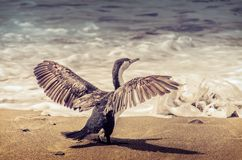 Cormorant in front of Pacific ocean. Stock Image