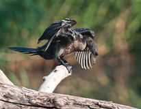 Cormorant getting ready to dive Stock Photography