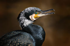 Cormorant grand Photos libres de droits