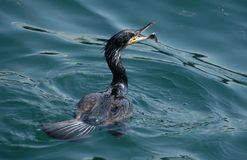 Cormorant grand Images stock