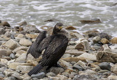 Cormorant grand Photo libre de droits