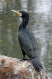 Cormorant grand Images libres de droits