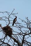 Cormorant grand Image stock