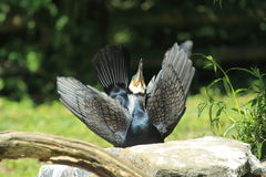 Cormorant grand Photographie stock