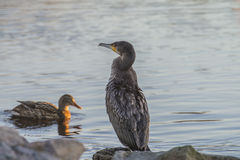 Cormorant grand (carbo de Phalacrocorax) Photos libres de droits