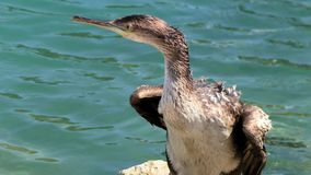 Cormorant, grand cormoran Photo libre de droits