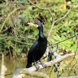 Cormorant, grand cormoran Images stock