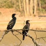 Cormorant, grand cormoran Photo stock