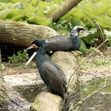 Cormorant, grand cormoran Images libres de droits