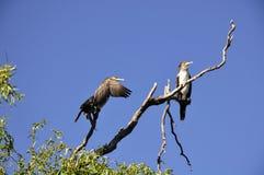 Cormorant. The great cormorant (Phalacrocorax carbo), in rezervation, Constanta, Romania Stock Images