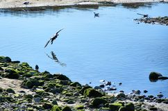 Cormorant and gulls on the shore of the river Stock Photography
