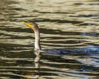 Cormorant ha aggrovigliato nella linea di pesca Fotografie Stock