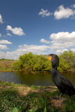 Cormorant Habitat Royalty Free Stock Images
